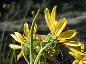 Helianthus californicus
