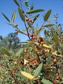Rhamnus tomentella ssp. tomentella