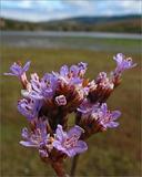 Limonium californicum