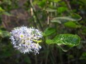 Ceanothus spinosus