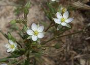Spergularia macrotheca var. leucantha