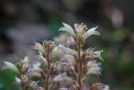 Aphyllon pinorum