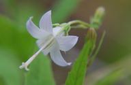 Campanula scouleri