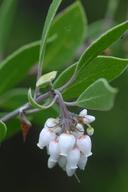 Arctostaphylos hookeri