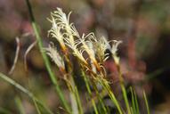 Carex geyeri