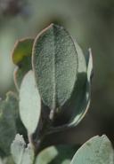 Arctostaphylos silvicola