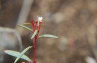 Gayophytum humile
