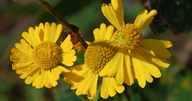 Helenium autumnale var. grandiflorum