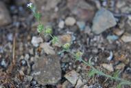 Lappula occidentalis var. cupulata