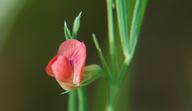 Lathyrus sphaericus