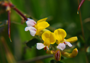 Seaside Birds-foot Trefoil