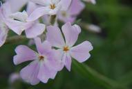 Phlox speciosa ssp. occidentalis