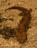 Cryptobranchus alleganiensis