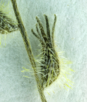 Cryptantha nemaclada
