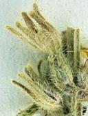 Cryptantha subretusa