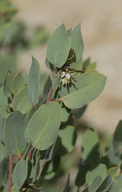 Arctostaphylos pilosula