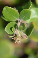 Arctostaphylos edmundsii