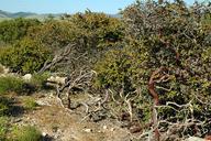 Arctostaphylos osoensis
