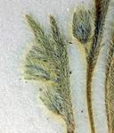 Plagiobothrys collinus var. fulvescens