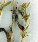 Plagiobothrys diffusus