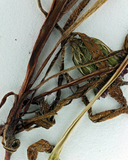 Plagiobothrys infectivus