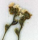 Plagiobothrys tener