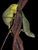 """Hembra y macho, male and female<br /><strong>Location:</strong> Hidroelectrica Porce 3 (Anori, Antioquia, Colombia)<br /><strong>Author:</strong> <a href=""""http://calphotos.berkeley.edu/cgi/photographer_query?where-name_full=Esteban+Alzate&one=T"""">Esteban Alzate</a>"""