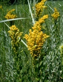 Solidago canadensis ssp. elongata