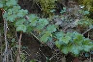 Ribes tularense