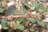 Euphorbia serpillifolia ssp. hirtula