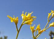 Gutierrezia microcephala