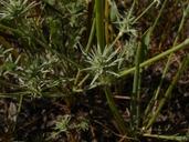 Eryngium aristulatum var. aristulatum