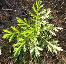 Artemisia biennis