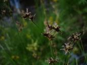 Juncus nevadensis var. nevadensis