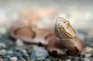Agkistrodon contortrix contortrix