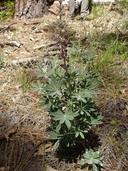 Lupinus leucophyllus