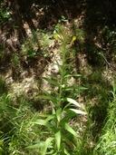 Oenothera villosa