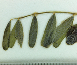 Astragalus accidens var. hendersonii