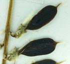 Astragalus accidens