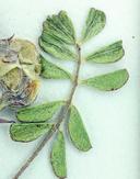 Astragalus anxius