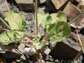 Eriogonum roseum