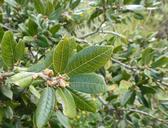 Quercus tomentella