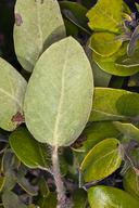 Arctostaphylos tomentosa ssp. daciticola