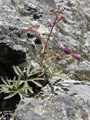 Delphinium decorum ssp. tracyi