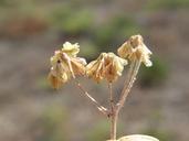 Eriogonum marifolium var. cupulatum