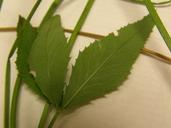 Trifolium howellii
