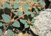 Euphorbia ocellata ssp. ocellata