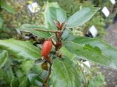 Elaeagnus pungens