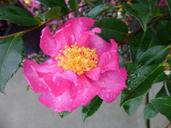 Camellia sp.