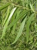 Salix gooddingii